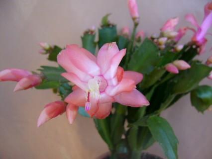 cactus de navidad3