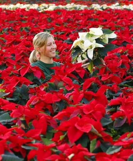 Flor de pascua navidad - Que cuidados necesita la flor de pascua ...