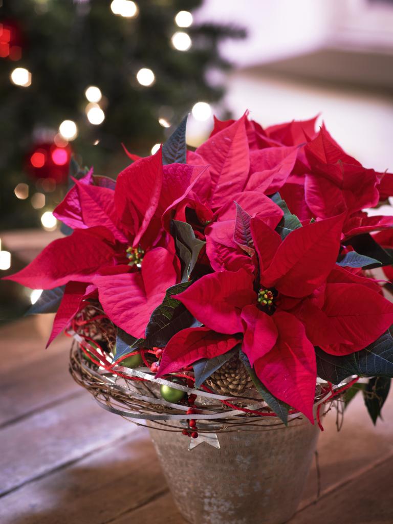 plantas para Navidad - Flor de Pascua