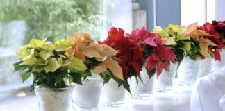 plantas para Navidad - Poinsetia