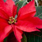 arreglos de flores para Navidad - plantas de temporada
