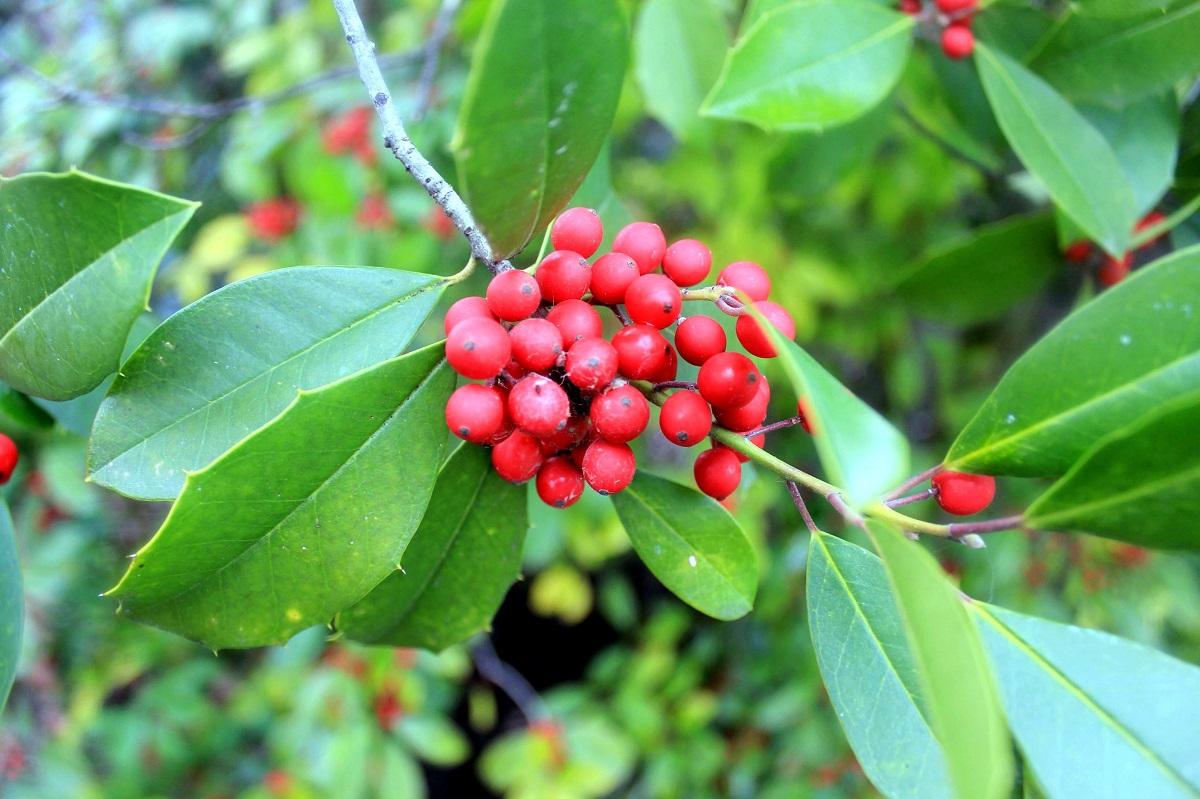 10 plantas típicas de Navidad para adornar nuestro hogar 1