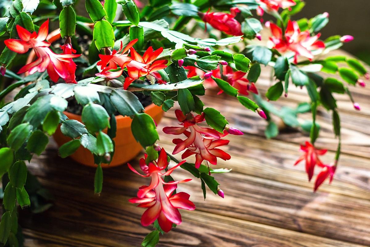 10 plantas típicas de Navidad para adornar nuestro hogar 4