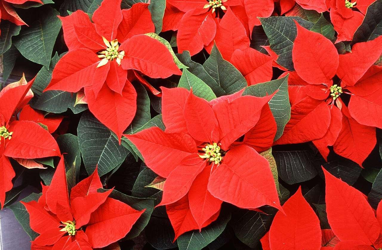 Flores, un regalo especial para esta Navidad 1