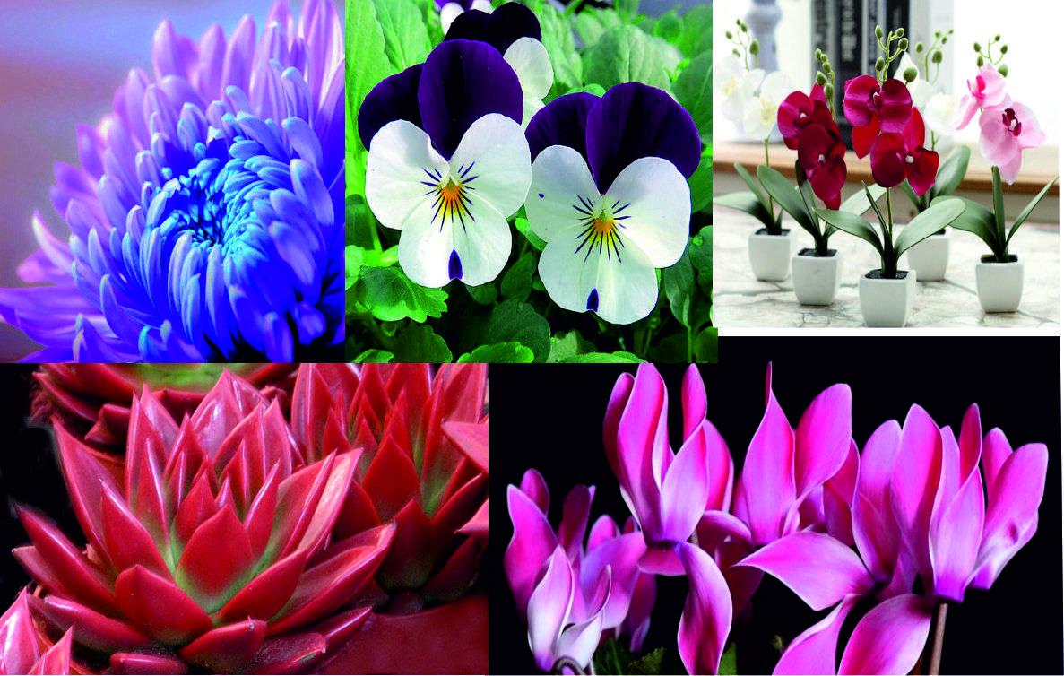 Flores para Navidad- nandina