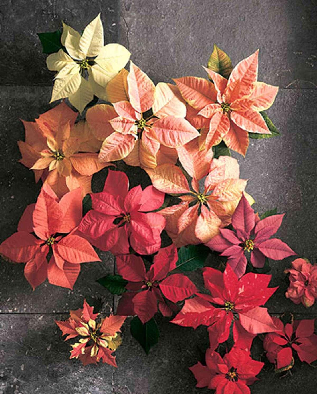 La Poinsettia: la flor de Nochebuena 2
