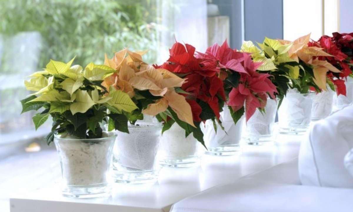 La Poinsettia: la flor de Nochebuena 7