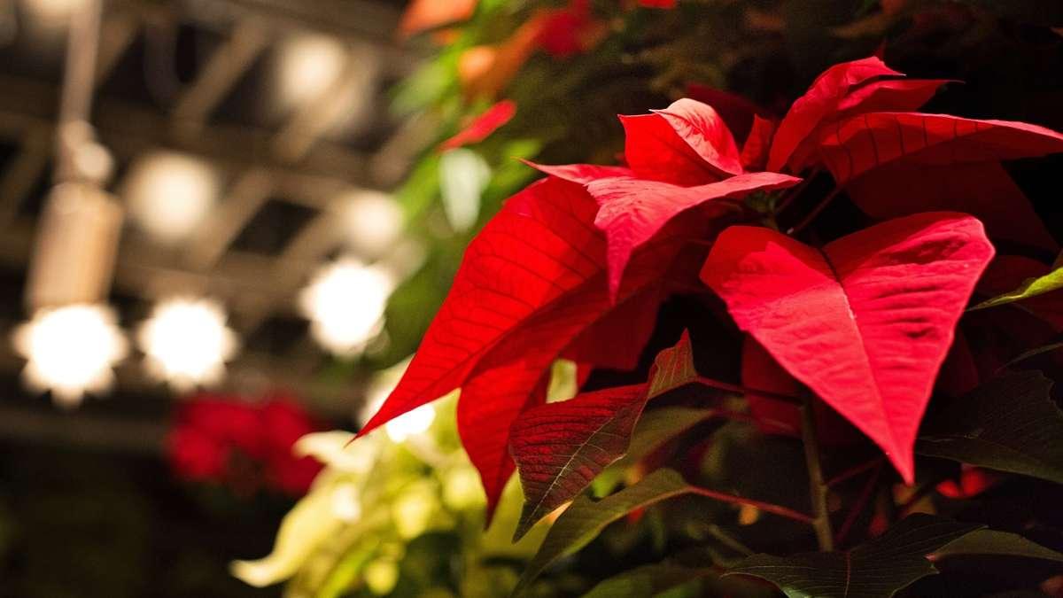 La Poinsettia: la flor de Nochebuena 1