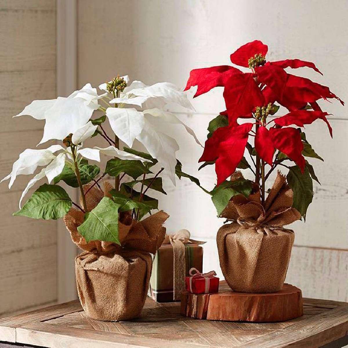 La Poinsettia: la flor de Nochebuena 6