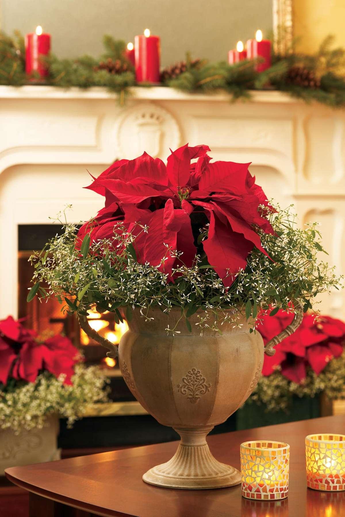 La Poinsettia: la flor de Nochebuena 5