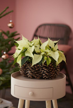 Decora tu hogar en Navidad con estas manualidades con poinsettias 1